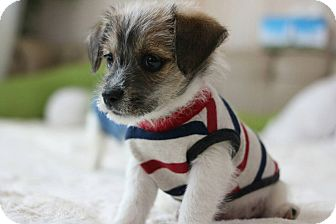Terrier (Unknown Type, Small) Mix Puppy for adoption in La Mirada, California - Otto