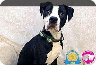 American Pit Bull Terrier Mix Dog for adoption in Jacksonville, Florida - Benji