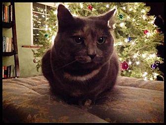 Domestic Shorthair Cat for adoption in Fenton, Missouri - MiaFarrow