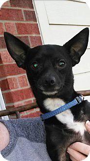 Chihuahua/Miniature Pinscher Mix Dog for adoption in Arlington, Texas - Midnight