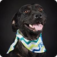 Adopt A Pet :: Pursylane - Knoxville, TN