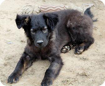 German Shepherd Dog/Australian Shepherd Mix Puppy for adoption in Liberty Center, Ohio - Ty