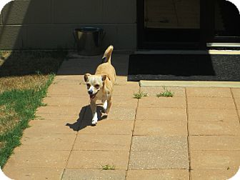 Chihuahua Mix Dog for adoption in Gadsden, Alabama - Laurie