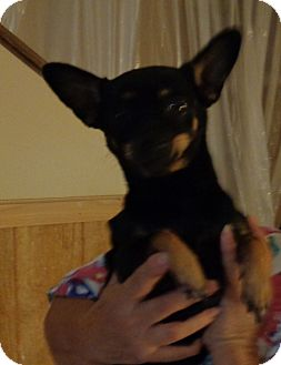 Manchester Terrier Dog for adoption in Crump, Tennessee - Lu Lu