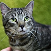 Domestic Shorthair Cat for adoption in Raleigh, North Carolina - Finley K