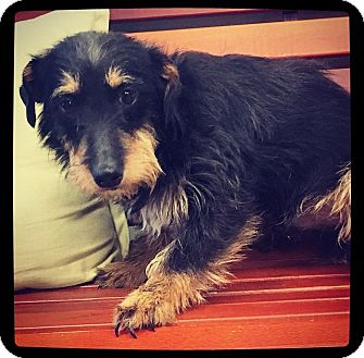 Schnauzer (Miniature)/Terrier (Unknown Type, Small) Mix Dog for adoption in Grand Bay, Alabama - Marty