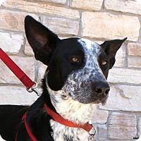 Adopt A Pet :: Cowboy - Newcastle, OK