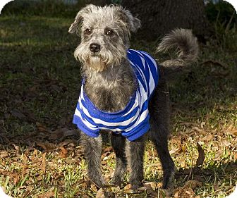 Standard Schnauzer/Maltese Mix Dog for adoption in Santa Fe, Texas - Joann-Sweet loving girl--S