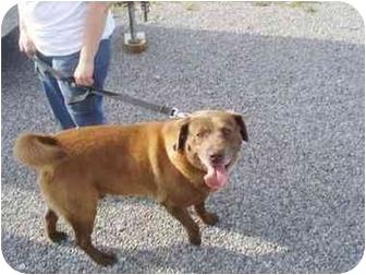 Labrador Retriever Mix Dog for adoption in Dunkirk, New York - Hershey