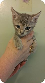 American Shorthair Kitten for adoption in Bryson City, North Carolina - Luke