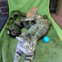 Adopt A Pet :: Maci - Denver, CO
