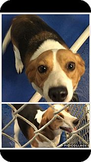 Beagle Mix Dog for adoption in New Kent, Virginia - 2 tri color sweet beagles