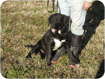 Labrador Retriever Mix Dog for adoption in Graysville, Tennessee - Ricky Bobby