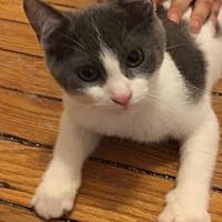 Adopt A Pet :: Munchkin - Philadelphia, PA