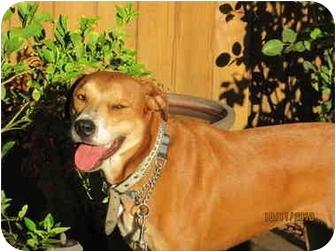 Rhodesian Ridgeback/Boxer Mix Dog for adoption in Burbank, California - Evie