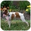 Photo 1 - Jack Russell Terrier Dog for adoption in Raritan, New Jersey - Zoey