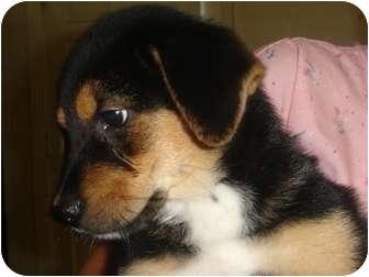Shepherd (Unknown Type)/Rottweiler Mix Puppy for adoption in Old Bridge, New Jersey - Denver