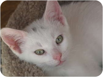 Domestic Shorthair Kitten for adoption in Port Republic, Maryland - Deuce