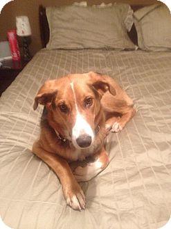 Collie Mix Dog for adoption in Toronto/Etobicoke/GTA, Ontario - K y ~  ADOPTION PENDING