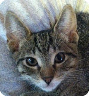 """Domestic Shorthair Kitten for adoption in Winchester, California - The """"V' Kittens"""