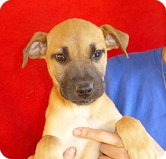 German Shepherd Dog/Labrador Retriever Mix Puppy for adoption in Oviedo, Florida - Lilly
