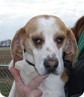 Beagle Dog for adoption in Huntingburg, Indiana - Clyde