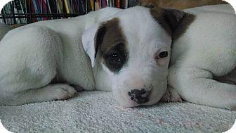 Pit Bull Terrier Mix Puppy for adoption in Dayton, Ohio - Aurora