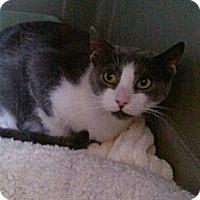 Domestic Shorthair Cat for adoption in Cranford/Rartian, New Jersey - Velvet