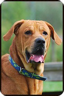 Mastiff Mix Dog for adoption in Elyria, Ohio - Trouble