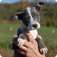 Adopt A Pet :: Autumn - Milford, CT