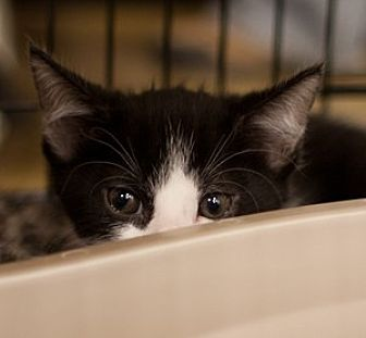Domestic Shorthair Cat for adoption in Morgan Hill, California - Alfonso