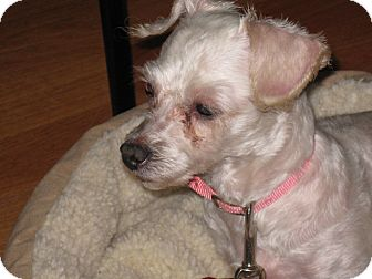 Toy Poodle/Bichon Frise Mix Dog for adoption in Worcester, Massachusetts - Ariel