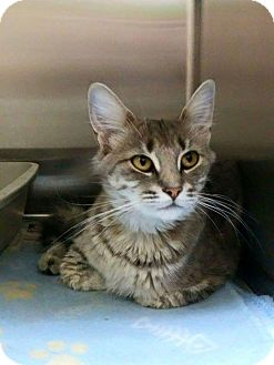 Domestic Shorthair Cat for adoption in THORNHILL, Ontario - Ivy