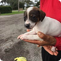 Adopt A Pet :: Angie - Coral Springs, FL