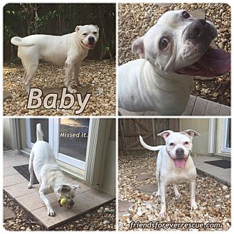 American Bulldog Mix Dog for adoption in Palmetto Bay, Florida - baby