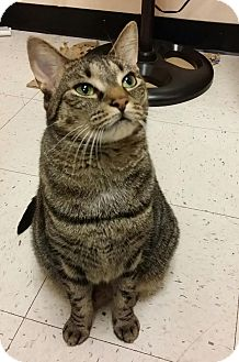 Domestic Shorthair Cat for adoption in Elmwood Park, New Jersey - Isabella