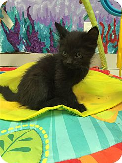 Domestic Shorthair Kitten for adoption in Twin Falls, Idaho - Talia
