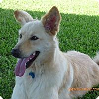 Golden Retriever/German Shepherd Dog Mix Dog for adoption in Stephenville, Texas - Blondie