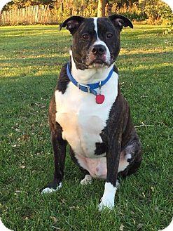 Boxer Mix Dog for adoption in Valley City, North Dakota - Tank