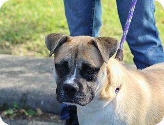 Boxer/Labrador Retriever Mix Dog for adoption in Liberty Center, Ohio - Bandit