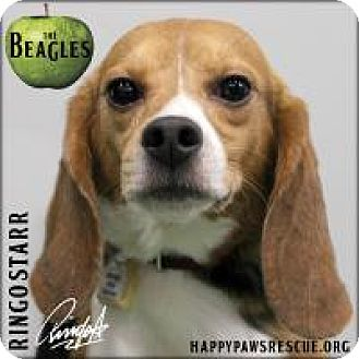 Beagle Dog for adoption in South Plainfield, New Jersey - Ringo Starr