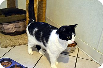 Domestic Shorthair Cat for adoption in Broadway, New Jersey - Rosie