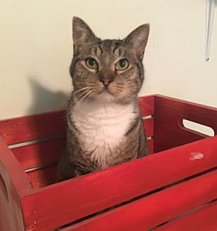 Domestic Shorthair Cat for adoption in Temecula, California - Tyson