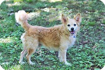 Cocker Spaniel Mix Dog for adoption in Salem, New Hampshire - SCOTCH