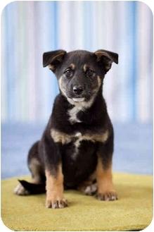 Labrador Retriever/German Shepherd Dog Mix Puppy for adoption in Portland, Oregon - Inca