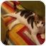 Photo 2 - Domestic Shorthair Cat for adoption in Muncie, Indiana - Orin--PETSMART