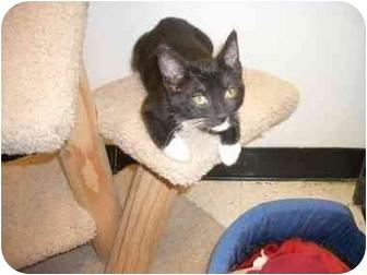 Domestic Shorthair Kitten for adoption in Scottsdale, Arizona - Oreo
