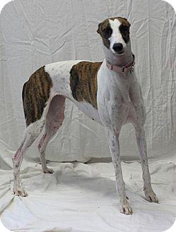 Greyhound Mix Dog for adoption in Swanzey, New Hampshire - Samantha
