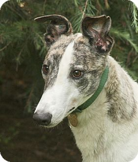 Greyhound Puppy for adoption in Portland, Oregon - Ulyses