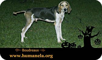 Hound (Unknown Type) Mix Dog for adoption in Stow, Maine - Boudreaux